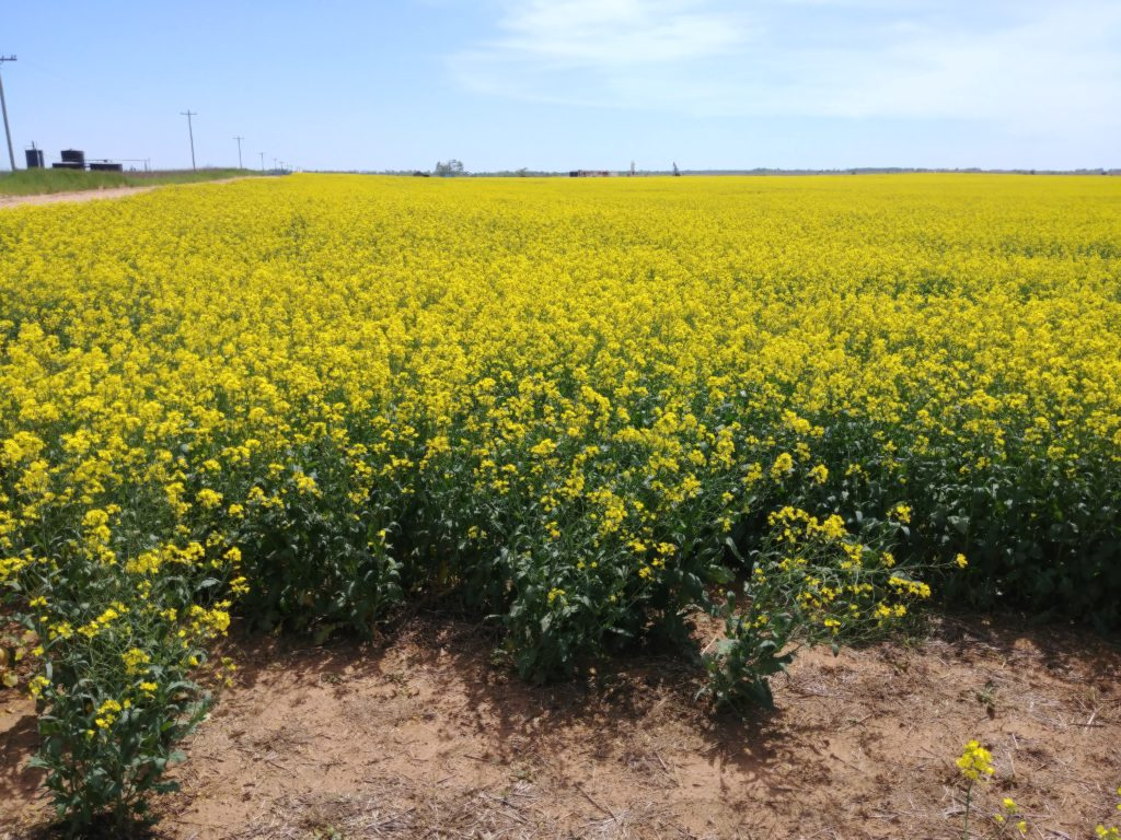 Canola with standard lens