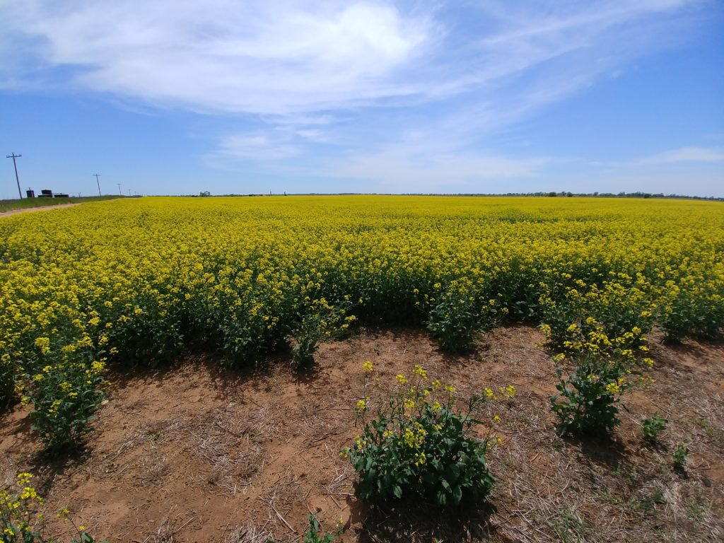 Canola with wide-angle lens