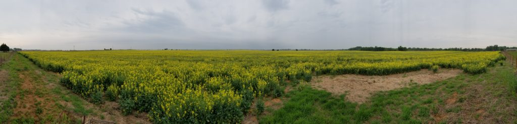 270 degree panorama of canola field