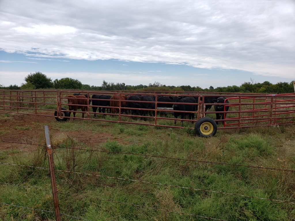 Cattle penned
